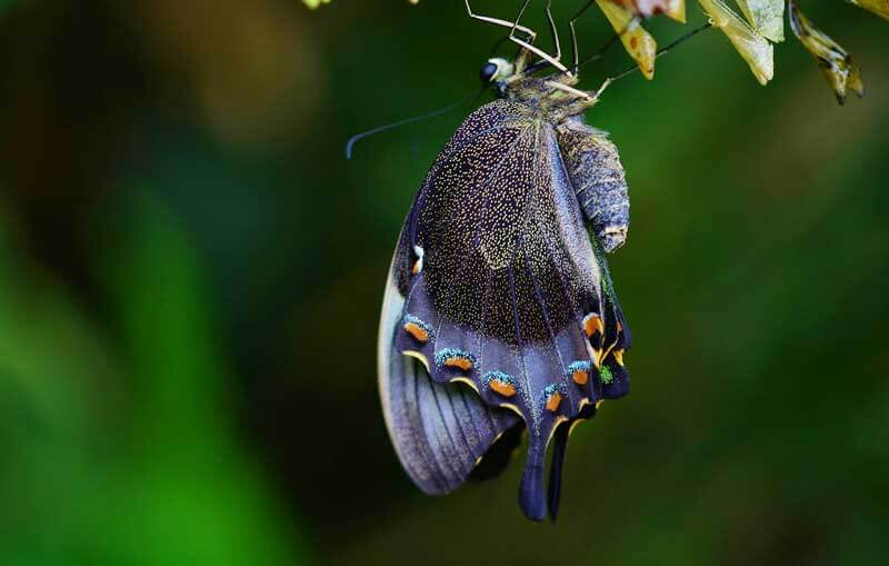 butterfly-cocoon